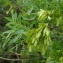 Michaël Martinez - Fraxinus angustifolia Vahl