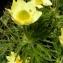 Alain Bigou - Anemone alpina subsp. apiifolia (Scop.) O.Bolòs & Vigo