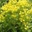 Alain Bigou - Euphorbia cyparissias L. [1753]