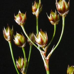 Photographie n°70694 du taxon Luzula forsteri (Sm.) DC.