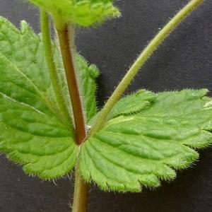 Photographie n°70700 du taxon Veronica chamaedrys L. [1753]