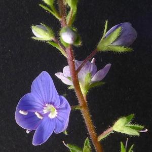 Photographie n°70701 du taxon Veronica chamaedrys L. [1753]