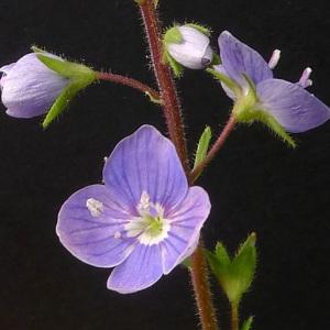 Photographie n°70702 du taxon Veronica chamaedrys L. [1753]