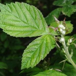 Photographie n°70752 du taxon Rubus L.