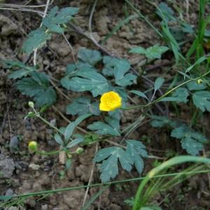 Photographie n°70800 du taxon Ranunculus repens L. [1753]