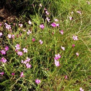 Photographie n°70819 du taxon Dianthus deltoides L. [1753]