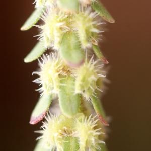 Photographie n°70851 du taxon Valantia hispida L. [1759]