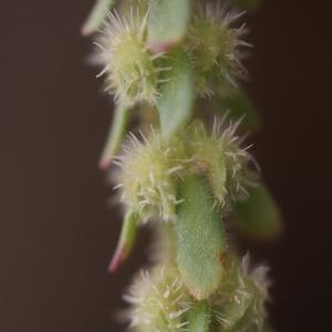 Photographie n°70855 du taxon Valantia hispida L. [1759]