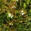 Alain Bigou - Melampyrum pratense L.