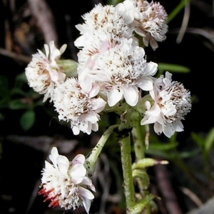 Antennaria carpatica (Wahlenb.) Bluff & Fingerh. (Antennaire des Carpates)