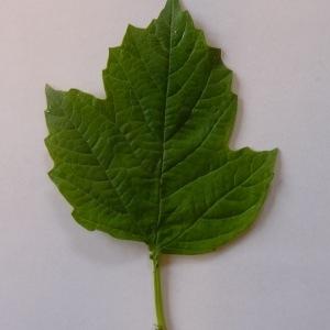 Photographie n°70862 du taxon Viburnum opulus L. [1753]