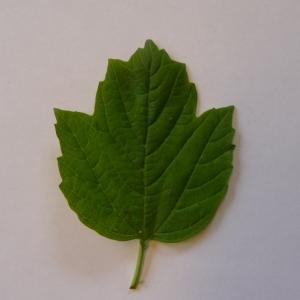 Photographie n°70869 du taxon Viburnum opulus L. [1753]