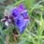 Justine PLESSIS - Pulmonaria longifolia (Bastard) Boreau