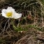 Alain Bigou - Ranunculus pyrenaeus L.