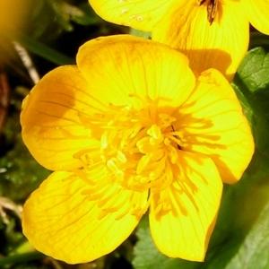 Caltha palustris L. f. palustris  (Caltha des marais)
