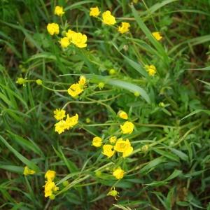 Photographie n°70908 du taxon Ranunculus acris L. [1753]