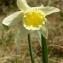 Alain Bigou - Narcissus bicolor L. [1762]