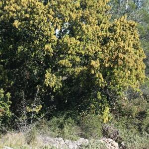 Photographie n°70940 du taxon Quercus ilex L. [1753]