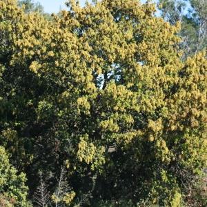 Photographie n°70941 du taxon Quercus ilex L. [1753]