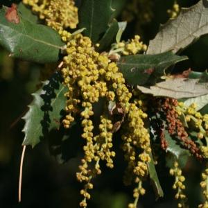 Photographie n°70946 du taxon Quercus ilex L. [1753]