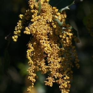 Photographie n°70947 du taxon Quercus ilex L. [1753]