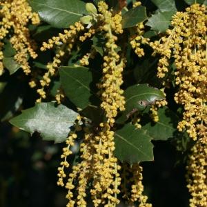 Photographie n°70949 du taxon Quercus ilex L. [1753]