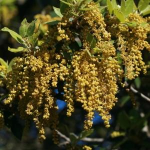 Photographie n°70984 du taxon Quercus ilex L. [1753]