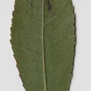 Photographie n°71006 du taxon Arbutus unedo L. [1753]