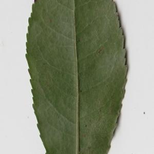 Photographie n°71007 du taxon Arbutus unedo L. [1753]