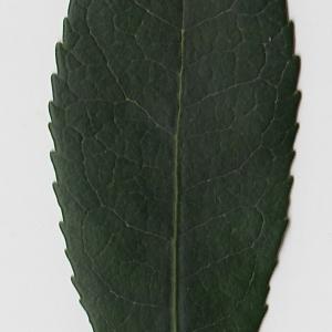 Photographie n°71010 du taxon Arbutus unedo L. [1753]