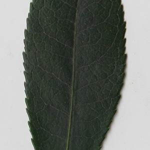Photographie n°71011 du taxon Arbutus unedo L. [1753]