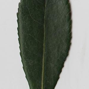 Photographie n°71012 du taxon Arbutus unedo L. [1753]