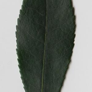 Photographie n°71013 du taxon Arbutus unedo L. [1753]