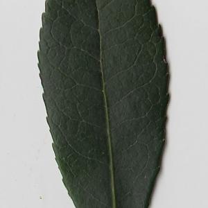 Photographie n°71014 du taxon Arbutus unedo L. [1753]