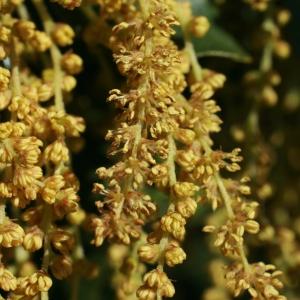 Photographie n°71016 du taxon Quercus ilex L. [1753]