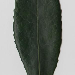 Photographie n°71017 du taxon Arbutus unedo L. [1753]