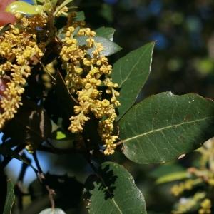 Photographie n°71043 du taxon Quercus ilex L. [1753]