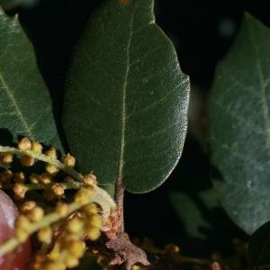 Photographie n°71044 du taxon Quercus ilex L. [1753]
