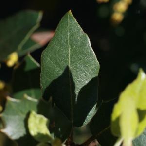 Photographie n°71045 du taxon Quercus ilex L. [1753]