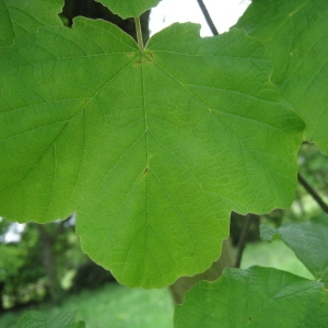Photographie n°71065 du taxon Acer opalus Mill.
