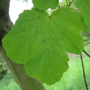 Photographie n°71068 du taxon Acer opalus Mill.