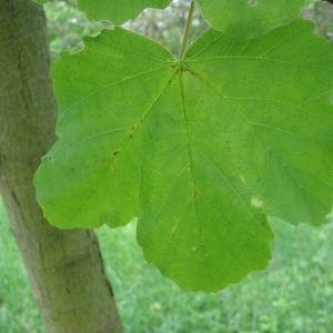 Photographie n°71071 du taxon Acer opalus Mill.