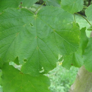 Photographie n°71073 du taxon Acer opalus Mill.