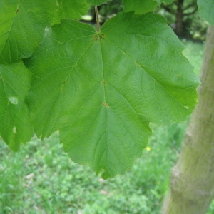 Photographie n°71075 du taxon Acer opalus Mill.