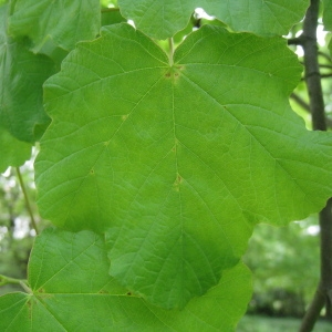 Photographie n°71081 du taxon Acer opalus Mill.