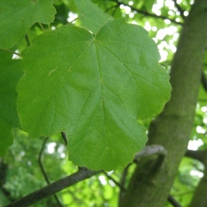 Photographie n°71082 du taxon Acer opalus Mill.