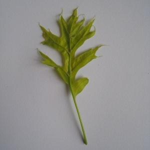 Photographie n°71118 du taxon Quercus palustris Münchh.