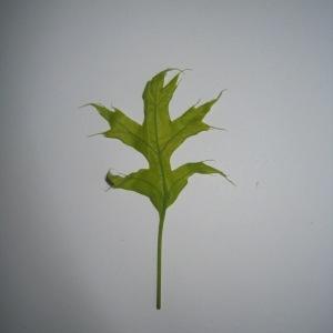 Photographie n°71119 du taxon Quercus palustris Münchh.