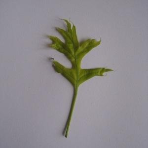 Photographie n°71126 du taxon Quercus palustris Münchh.