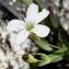 Alain Bigou - Silene rupestris var. micrantha Rchb. [1844]